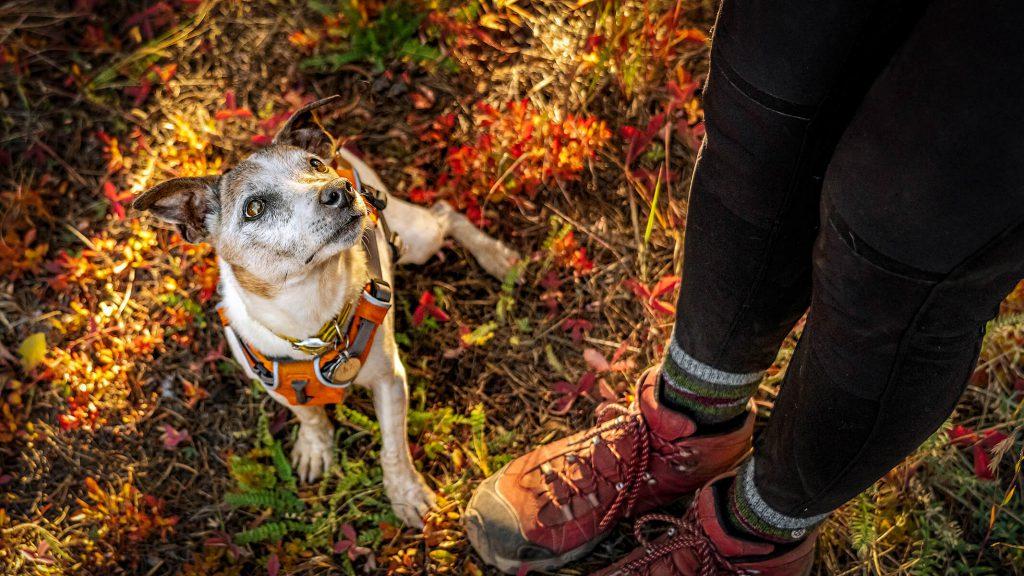 terrier sitting looking up at its human, Colorado outdoor dog photography, Colorado adventure pups, Serving Denver, Colorado Springs, Fort Collins, and all Colorado pups; Adventure Pup Photography