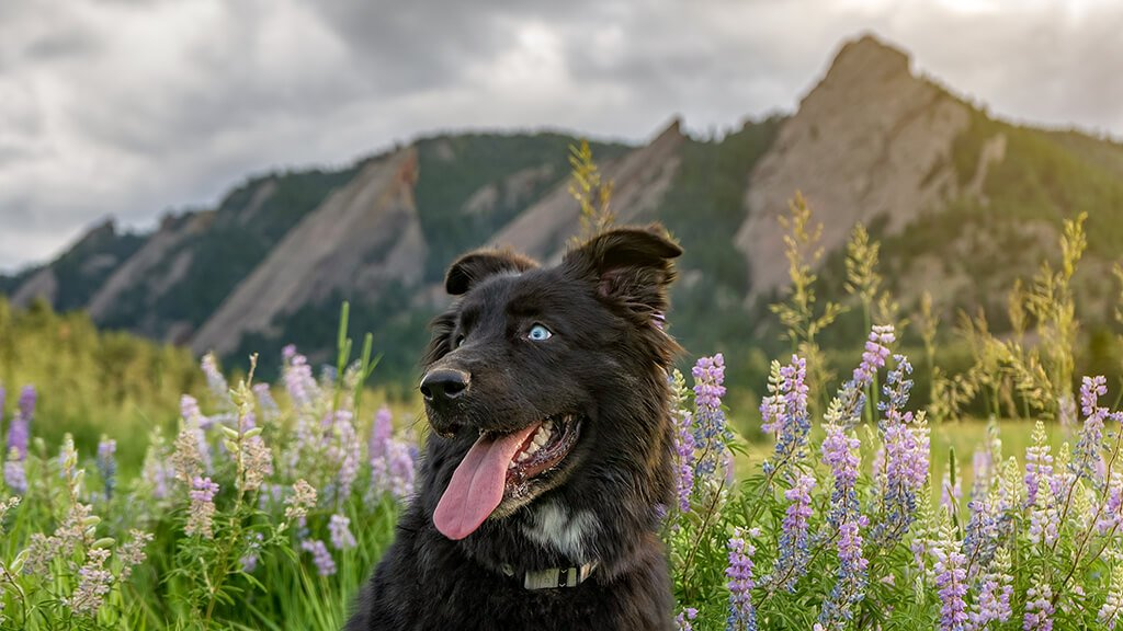 Black dog sitting in front of some wildflowers with mountains in the background