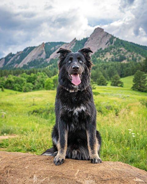 black dog sitting in grass with a leash, Colorado outdoor dog photography, Colorado adventure pups, Serving Denver, Colorado Springs, Fort Collins, and all Colorado pups; Adventure Pup Photography