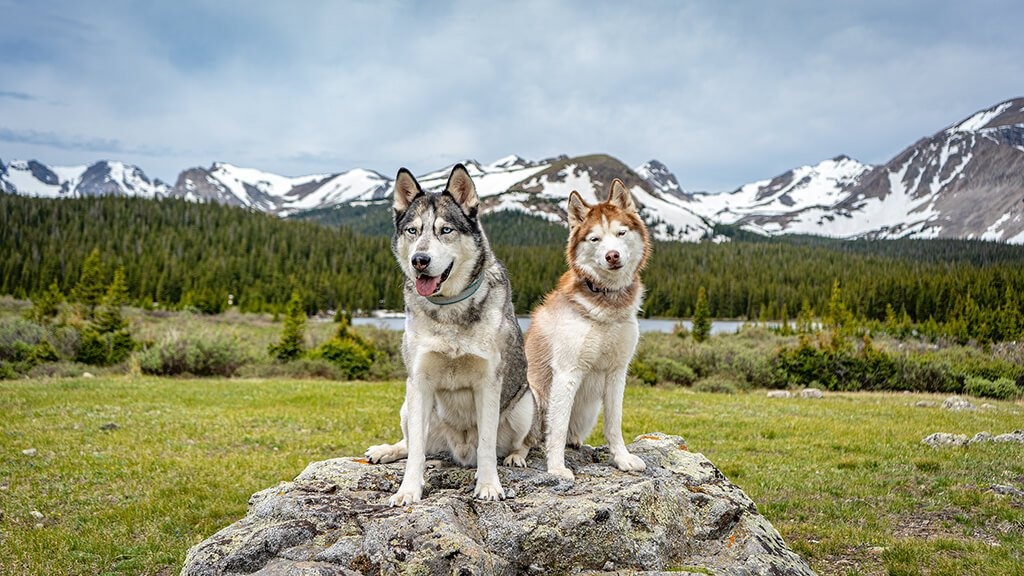 Two huskies sitting on a rock with evergreen trees and snow-capped mountains in the backgroung, Colorado outdoor dog photography, Colorado adventure pups, Serving Denver, Colorado Springs, Fort Collins, and all Colorado pups; Adventure Pup Photography